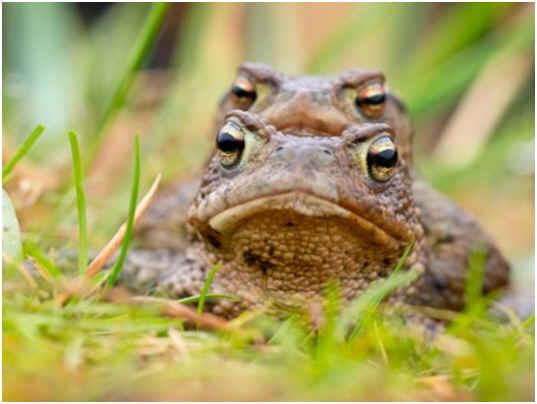 Amphibian asexual reproduction budding
