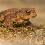 Are Frogs Poisonous to Dogs?