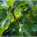 Do Fruit Trees Lose Their Leaves?