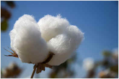 Does cotton shrink in the dryer?