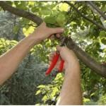 When Do You Prune Fruit Trees?