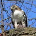 Are Hawks Endangered?