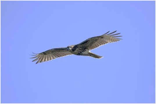 are-hawks-scavengers
