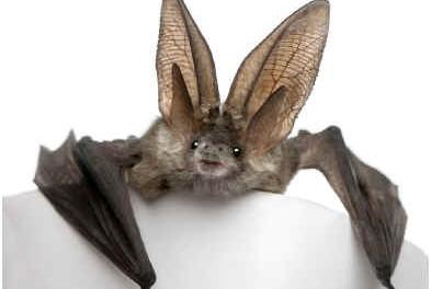 can-bats-hear