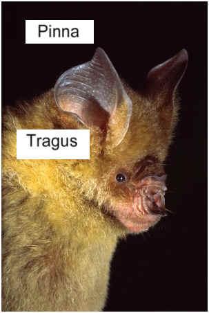 can-bats-hear2