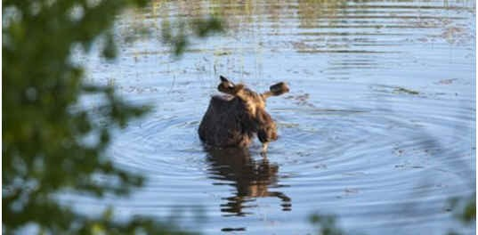 can-moose-swim