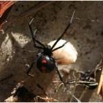Common Spider Bites