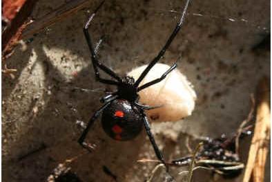 common-spider-bites
