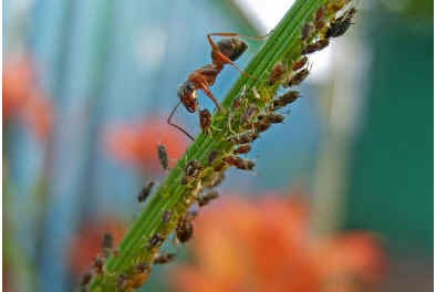 do-ants-eat-aphids