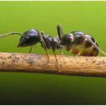 Do Ants Eat Termites?