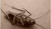 do-cockroaches-make-noise