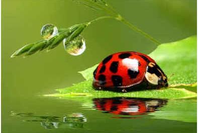 do-ladybugs-eat-whiteflies