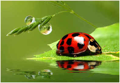 do ladybugs eat whiteflies sophisticated edge. Black Bedroom Furniture Sets. Home Design Ideas