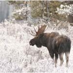 Do Moose Hibernate?