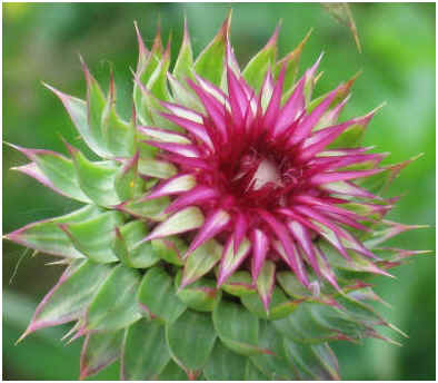 effects-of-milk-thistle-on-menopause