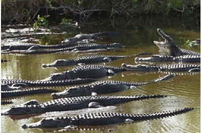 How do alligators reproduce?