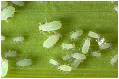 how-do-aphids-reproduce