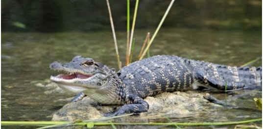 how-long-do-alligators-live