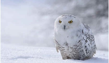 snowy-owl-facts