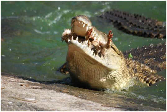 what-do-crocodiles-eat