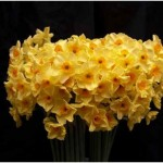 When to Cut Back Daffodils