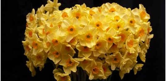when-to-cut-back-daffodils