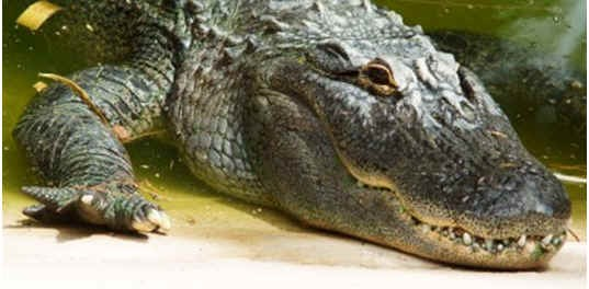 are-alligators-reptiles
