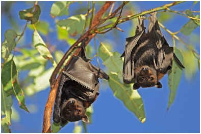 are-bats-rodents