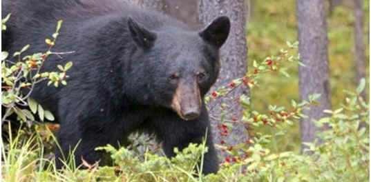 are-bears-mammals