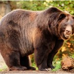 Are Bears Nocturnal?