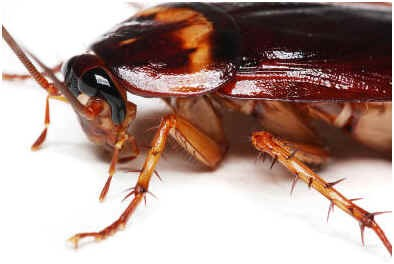 are-cockroaches-active-during-the-day