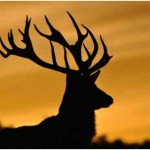 Are Deer Nocturnal?