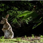 Are Rabbits Nocturnal?