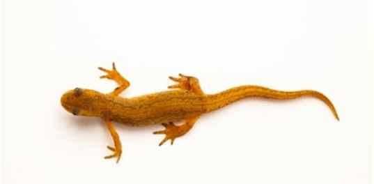 are-salamanders-reptiles