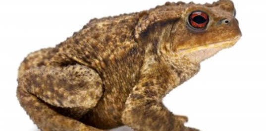 are-toads-amphibians
