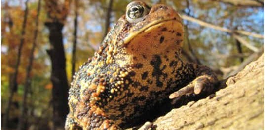 are-toads-reptiles