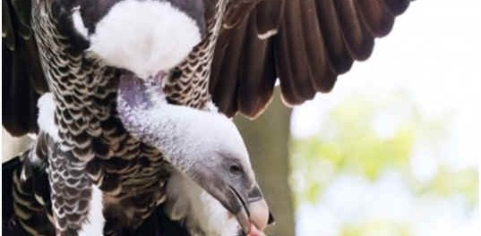 are-vultures-carnivores