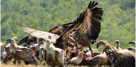 are-vultures-scavengers