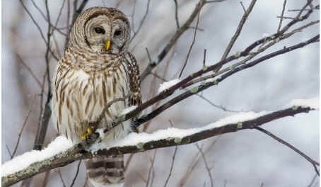 barred-owl-facts