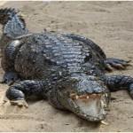 Can Crocodiles Jump?