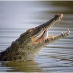 Can Crocodiles See?
