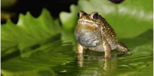 can-toads-swim