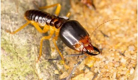 Dampwood Termite (Soldier)