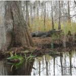 Do Alligators Hibernate?