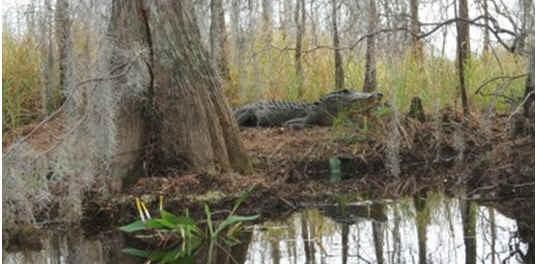 do-alligators-hibernate