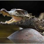 Do Crocodiles Lay Eggs?