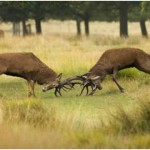 Do Deer Attack Humans?