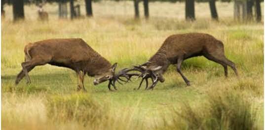 do-deer-attack-humans
