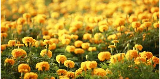 do-marigolds-repel-mosquitoes