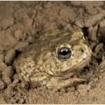 Do Toads Hibernate?